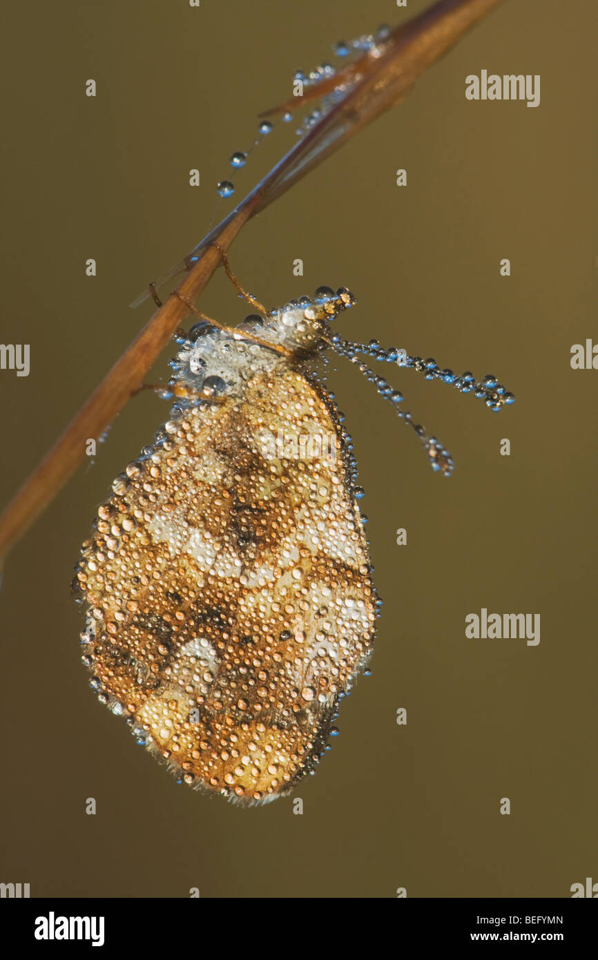 Pearl Crescent (Phyciodes tharos) adult covered in dew, Howell Woods Environmental Learning Center, Four Oaks, North - Stock Image