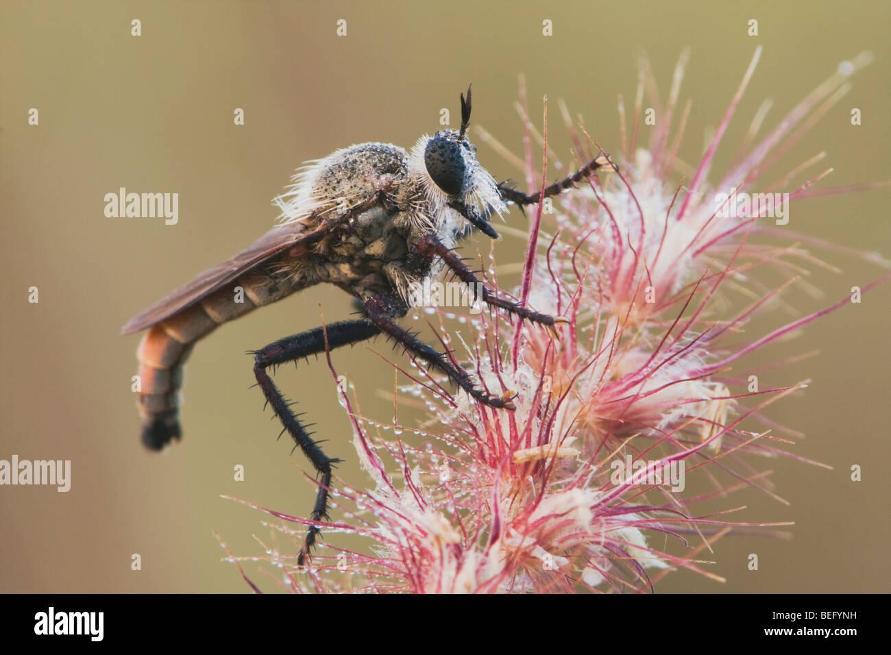 Robber Fly (Asilidae), adult, Rio Grande Valley, Texas, USA - Stock Image