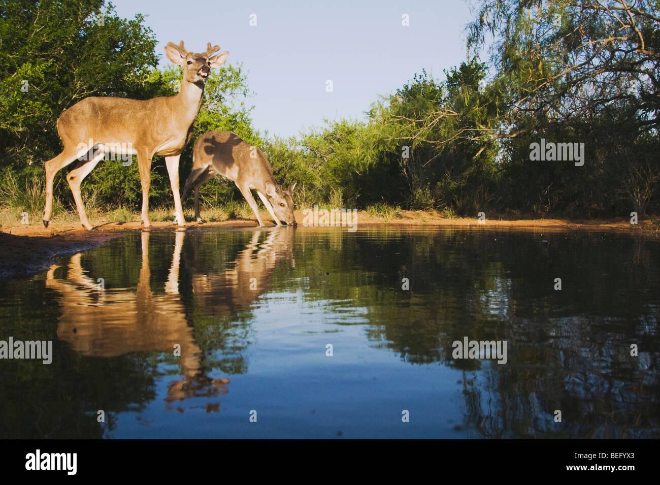 White-tailed Deer (Odocoileus virginianus), bucks drinking, Rio Grande Valley, Texas, USA - Stock Image