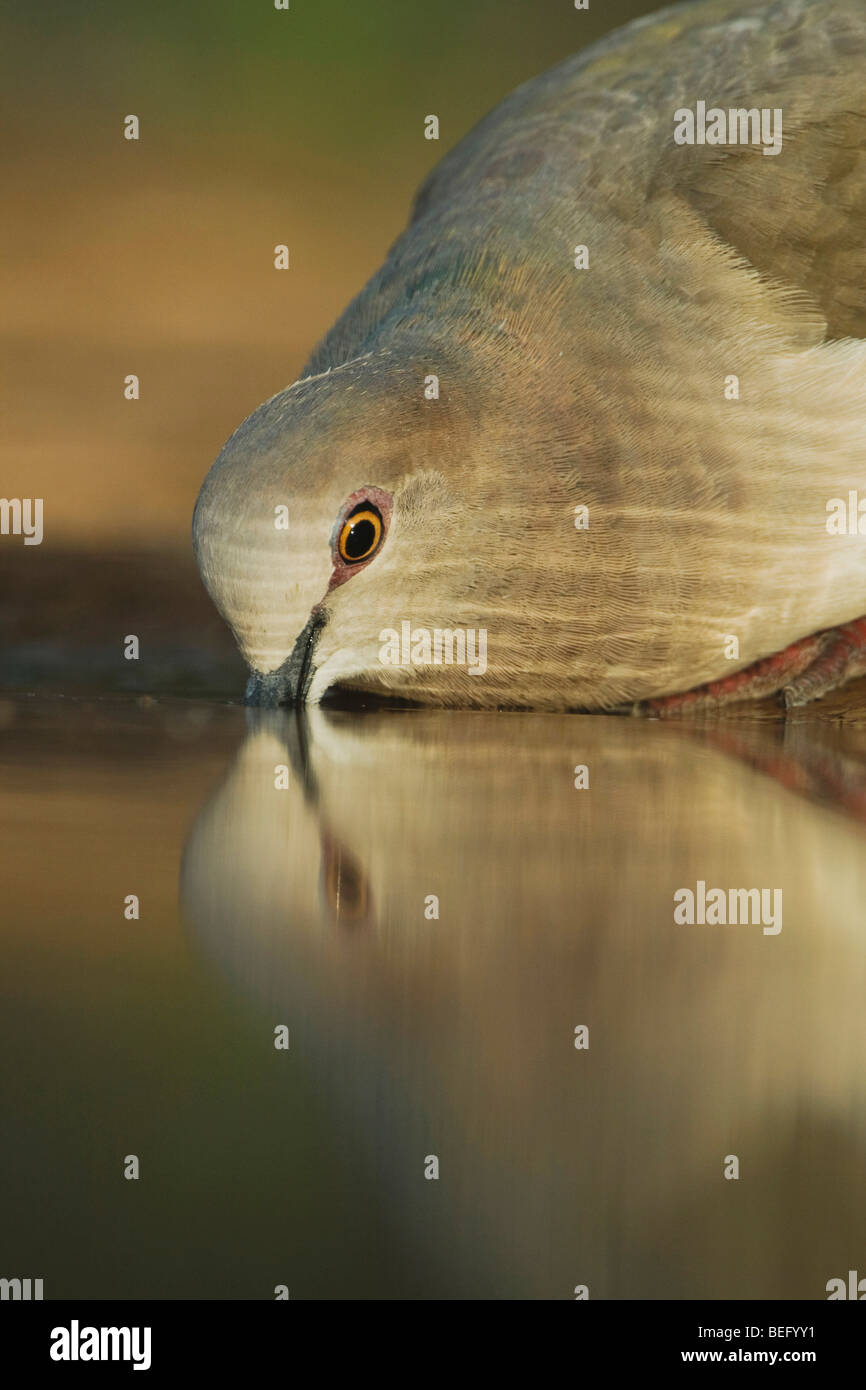 White-tipped Dove (Leptotila verreauxi),adult drinking, Rio Grande Valley, Texas, USA - Stock Image