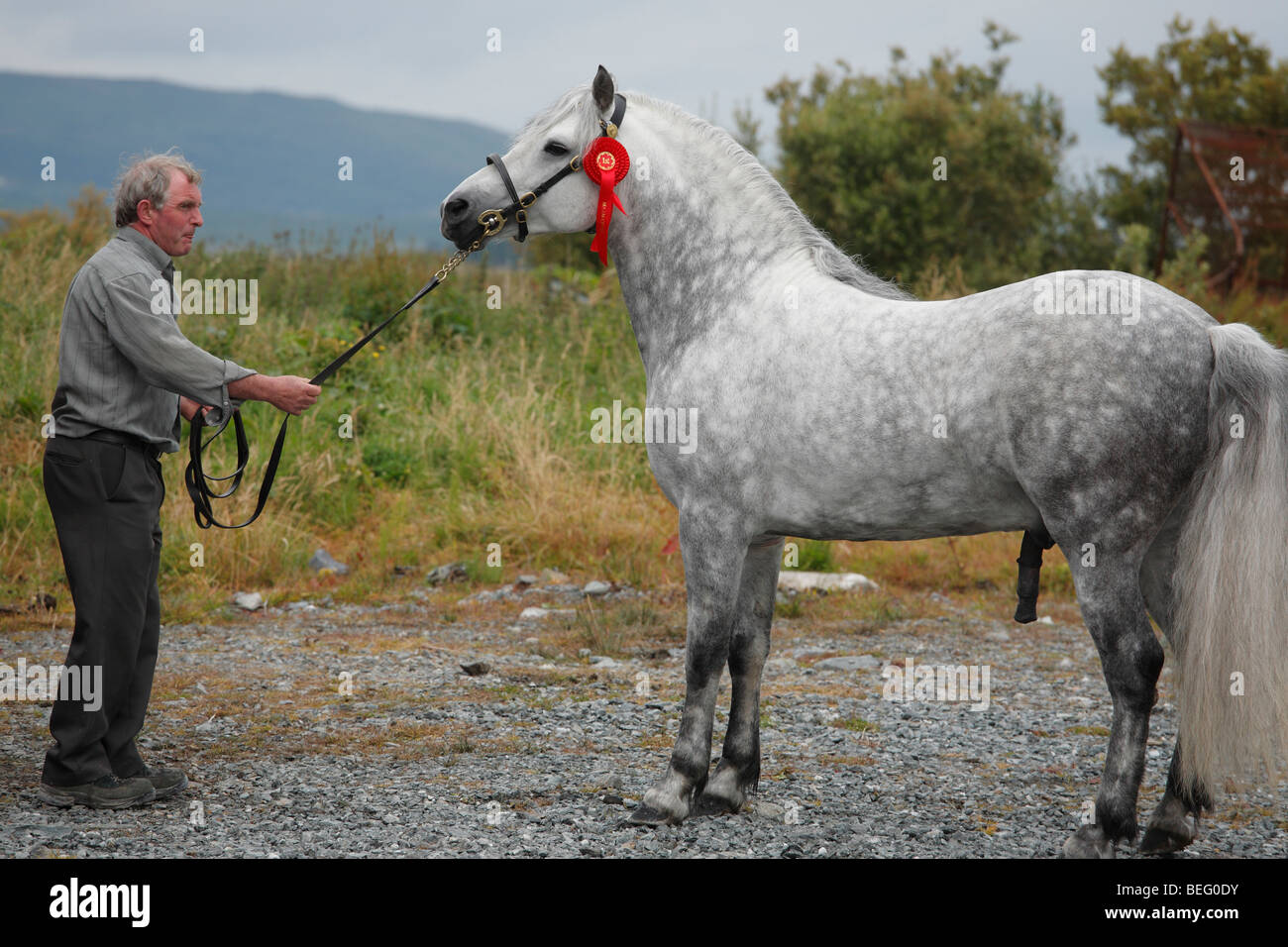man with a Connemara Pony stallion at the Maam Cross Pony Show in July 2008, Ireland - Stock Image