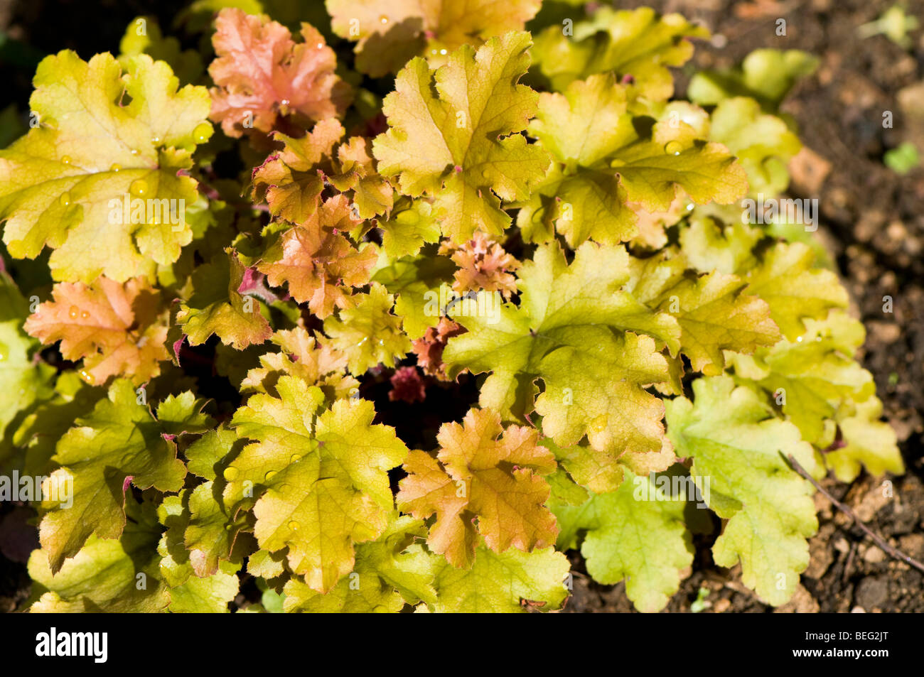 Purpurglöckchen 1 x Heuchera Hybride /'Berry Marmalade/'