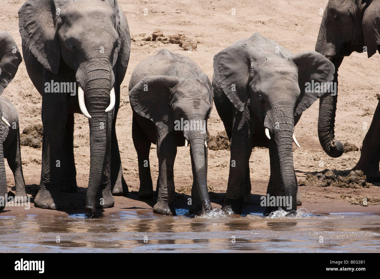 Mother And Calf African Elephant Playing Stock Photos