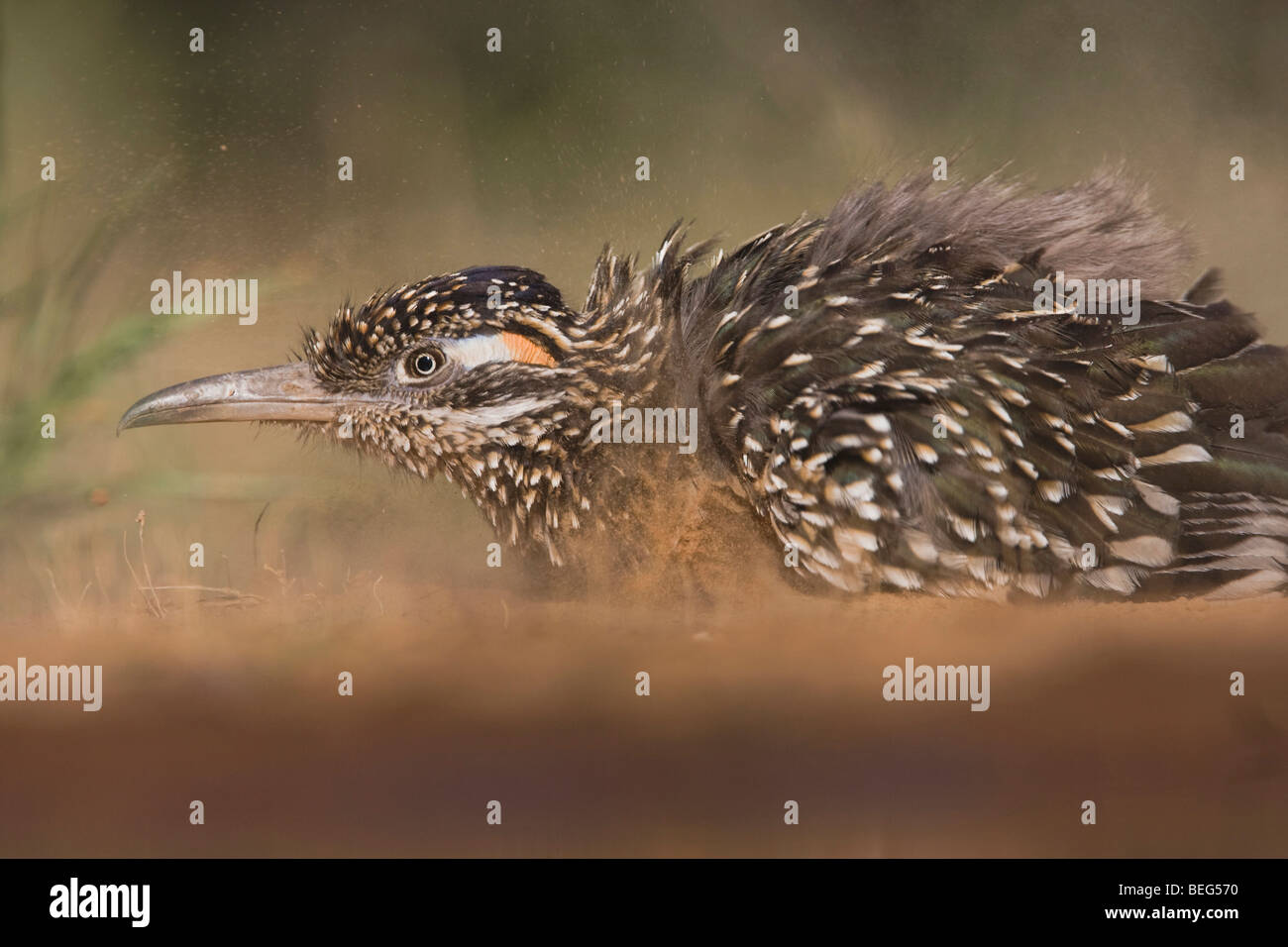 Greater Roadrunner (Geococcyx californianus),adult dust bathing, Starr County, Rio Grande Valley, Texas, USA - Stock Image