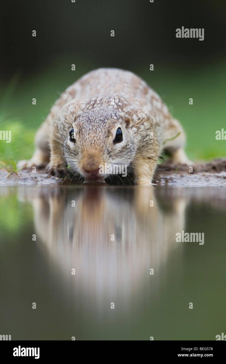 Mexican Ground Squirrel (Spermophilus mexicanus), adult drinking, Rio Grande Valley, Texas, USA - Stock Image