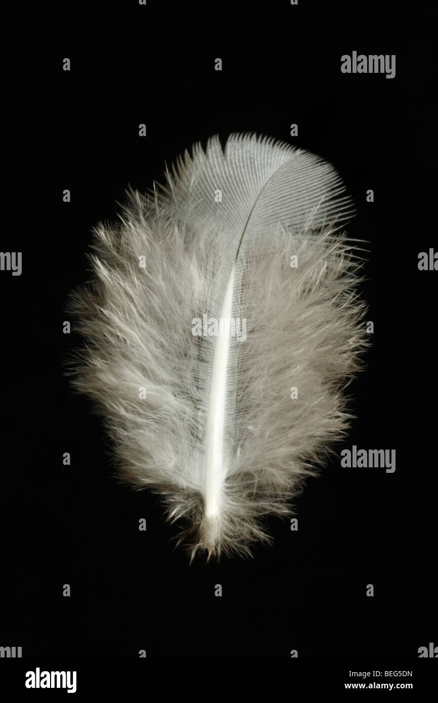 Close up of a downy feather on a black background. Stock Photo