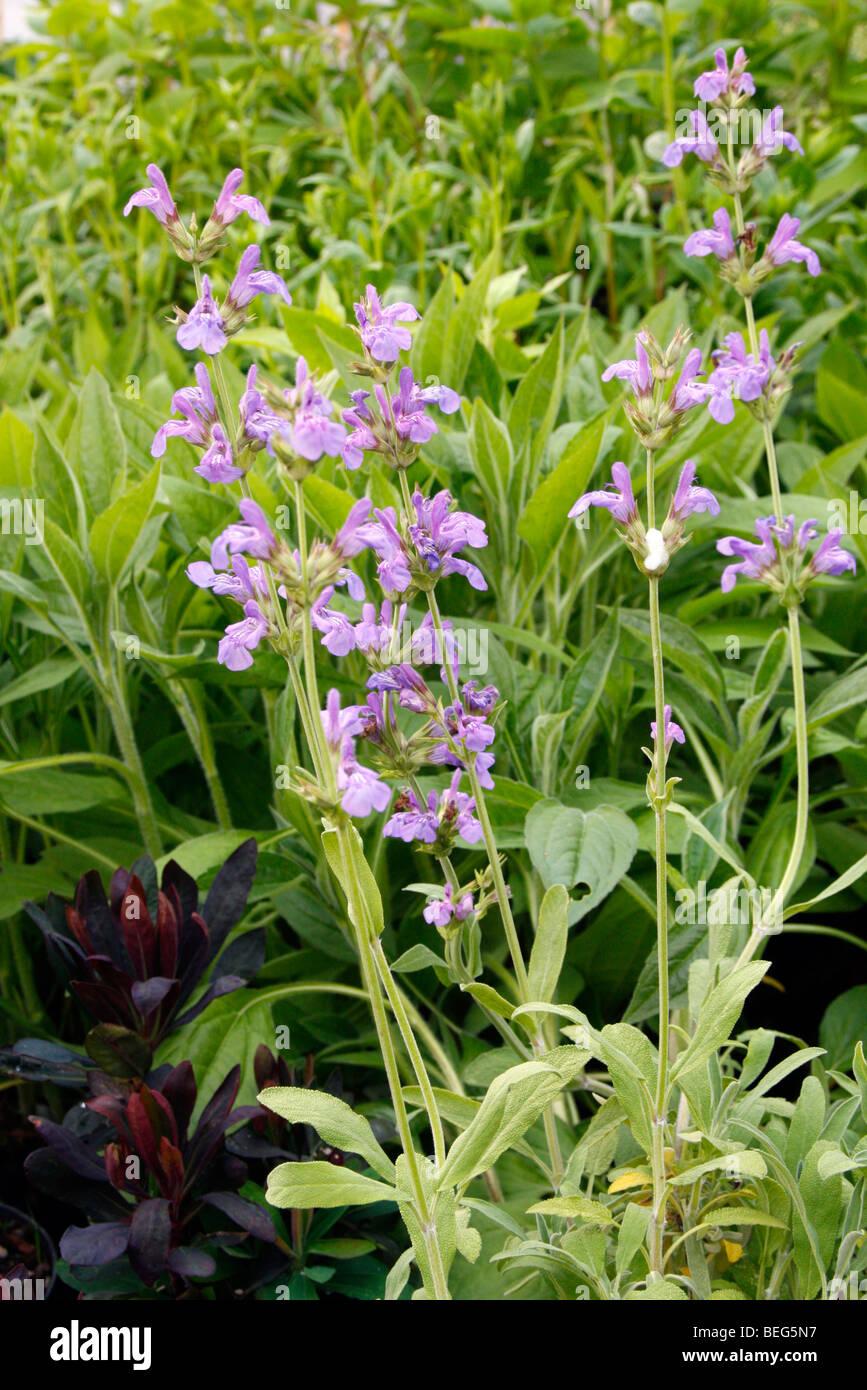 Salvia lavandulifolia =Spanish sage-European native-Purple flowers-10 fresh seed
