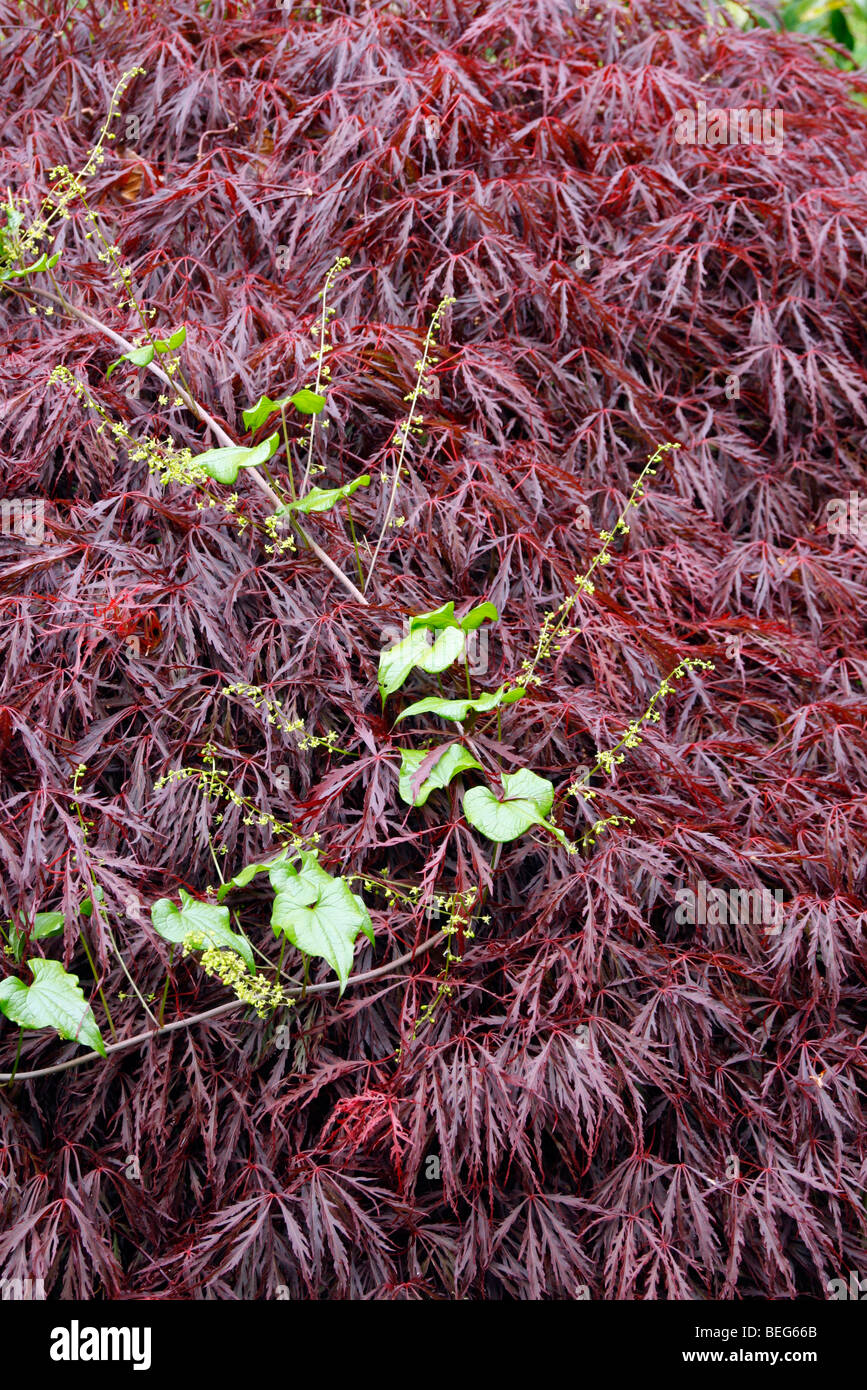 Black Bryony - Tamus communis scrambling over Acer palmatum dissectum 'Inaba-Shidare' AGM - Stock Image