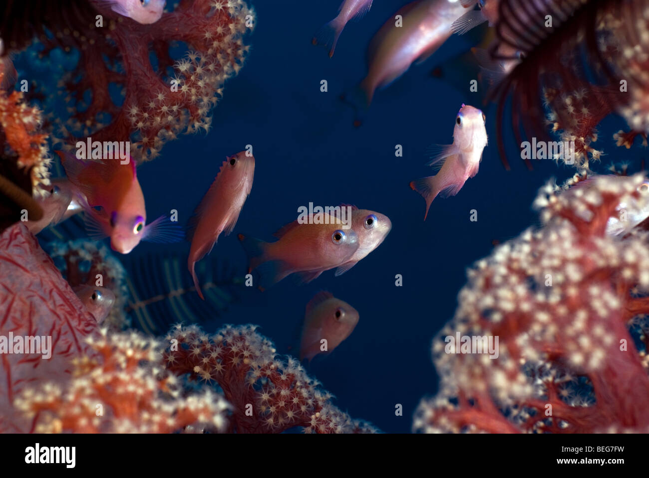 Stocky anthias among soft coral under water. - Stock Image