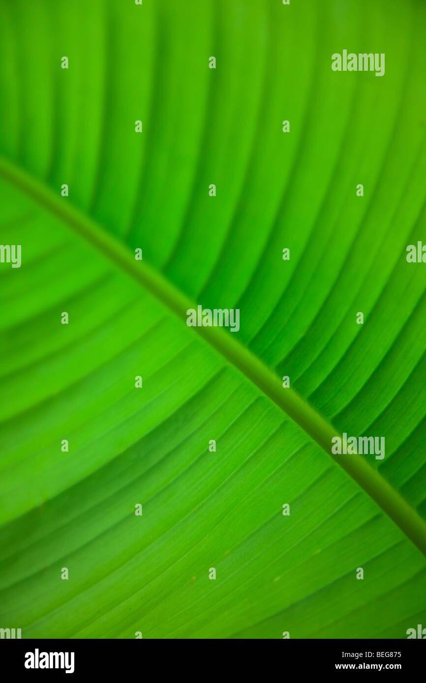 lush underside of a Underside of Canna Lily leaf at Ness Gardens, Ness, England, UK - Stock Image