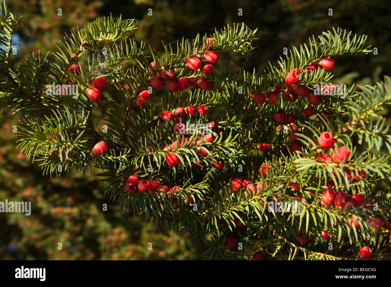 England, Cambridgeshire, Hemingford Grey, St James' Churchyard, ripe red yew tree berries - Stock Image