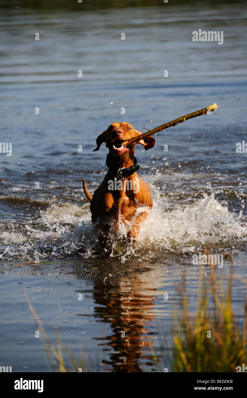 Stock photo of a dog fetching a stick from a lake. - Stock Image