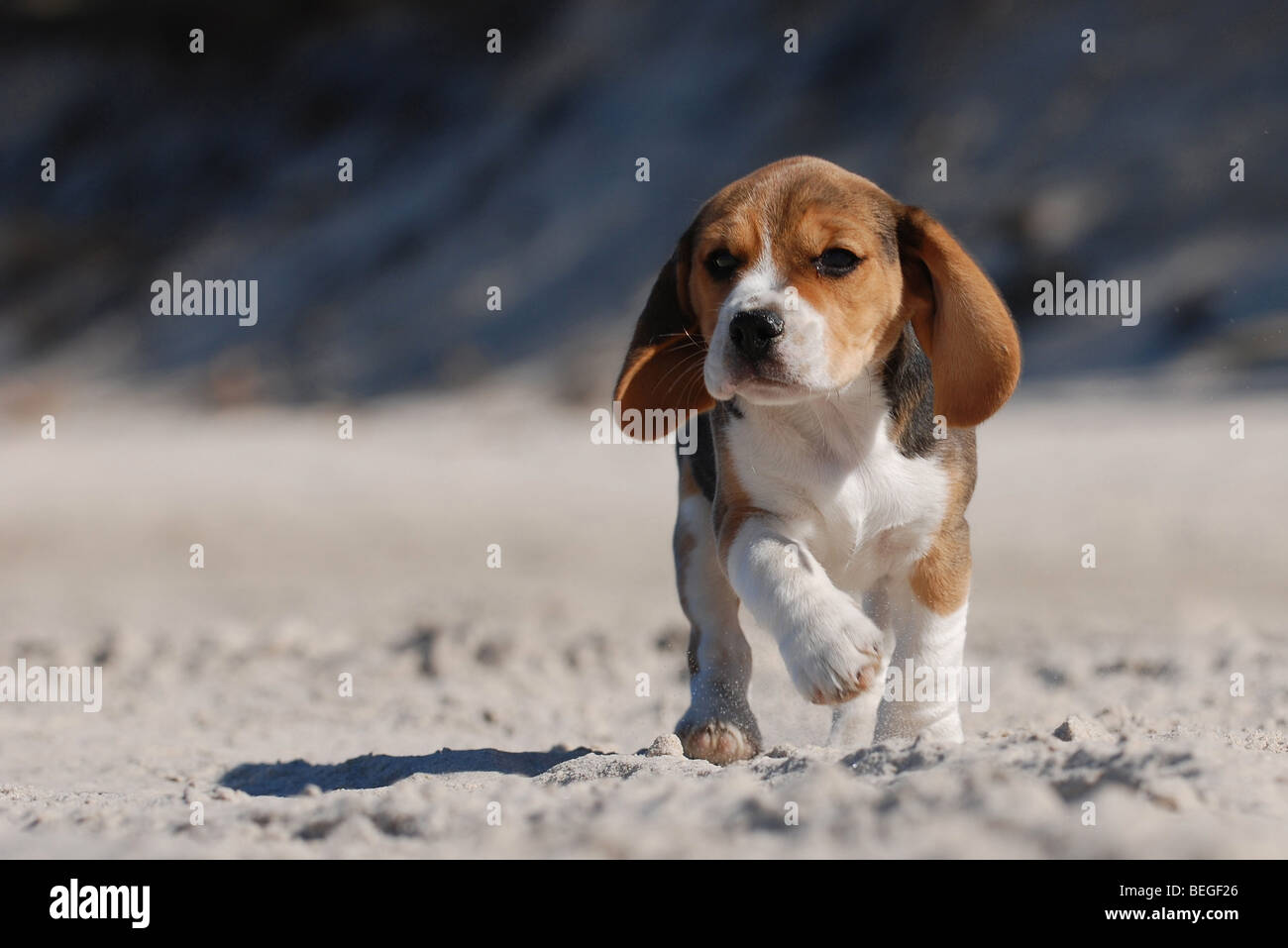 Puppy Funny Beagle High Resolution Stock Photography And Images Alamy
