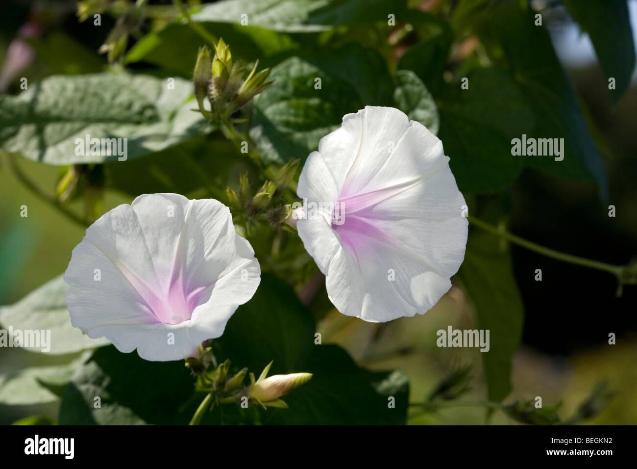 Common Morning Glory, Purpurvinda (Ipomoea purpurea) Stock Photo