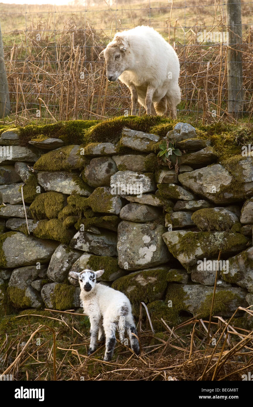 A ewe looks at her lamb who can't climb a dry stone wall, Abergeswyn Common, Powys, Mid Wales, United Kingdom. - Stock Image