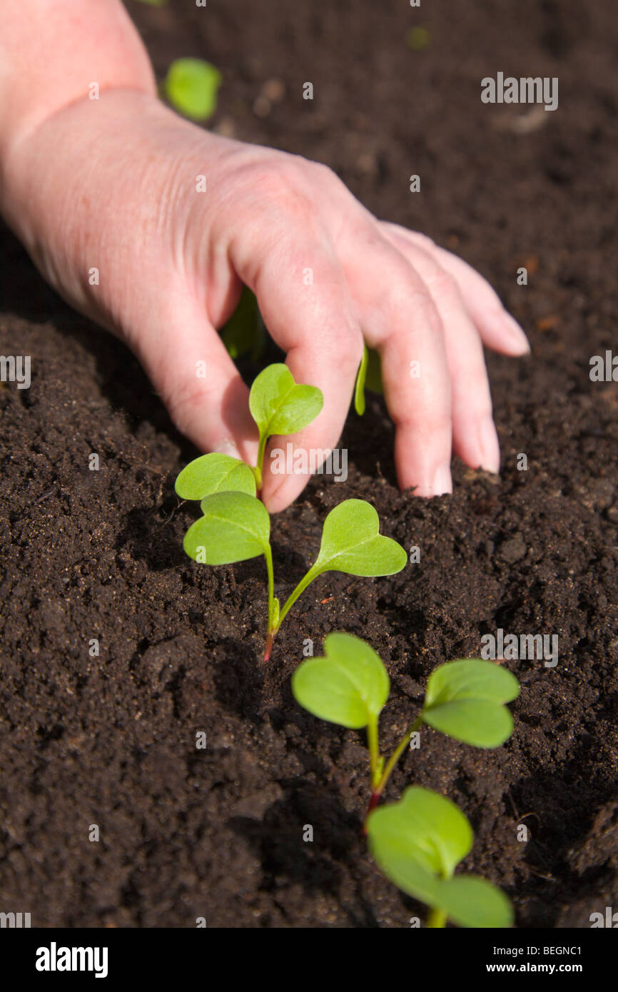 Thinning out a row of radish seedlings - Stock Image