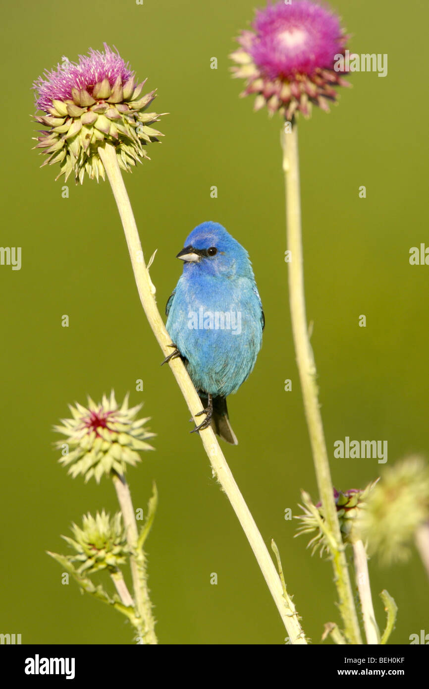 Indigo Bunting in Thistle - Stock Image