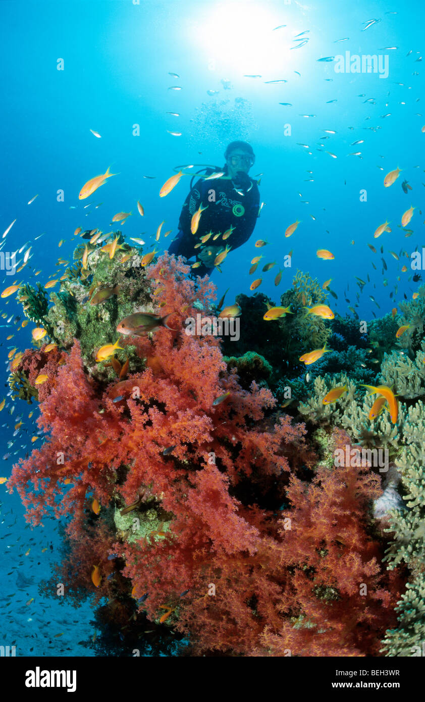 Diving at Soft Coral Reef, Dendronephthya, Sharm el Sheikh, Sinai, Red Sea, Egypt - Stock Image