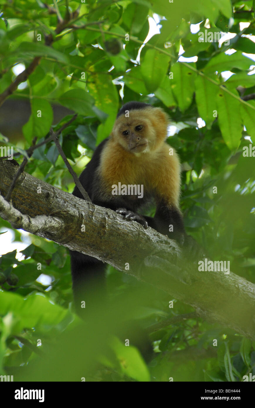 White-headed Capuchin, Cebus capucinus, Playas del Coco, Costa Rica Stock Photo