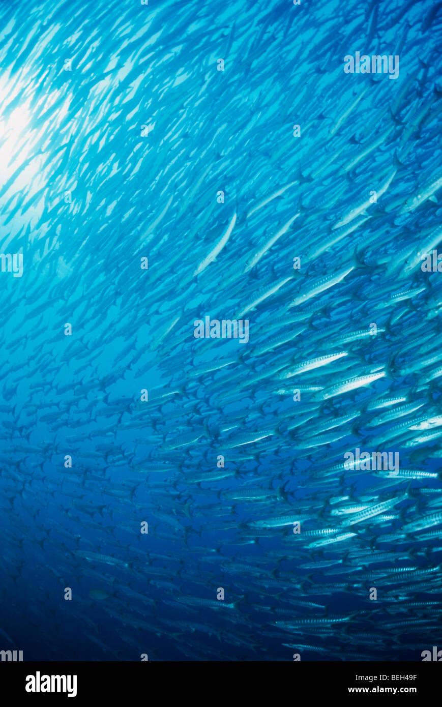Schooling Barracudas, Sphyraena qenie, Nabucco, Kalimantan, Indonesia - Stock Image
