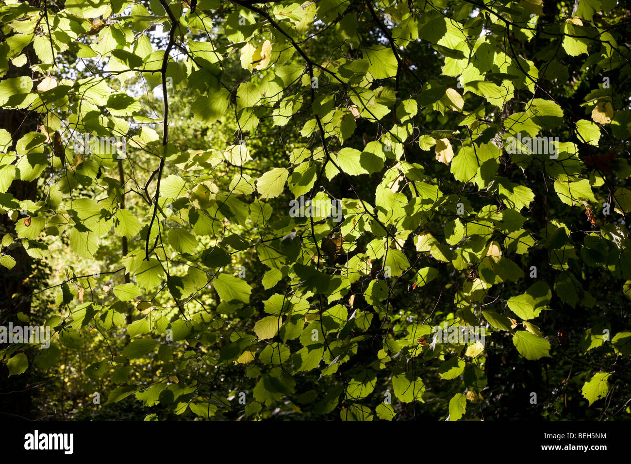 Summer sunlight filters through the old boughs and green foliage of beech trees in the ancient forest of Sydenham - Stock Image