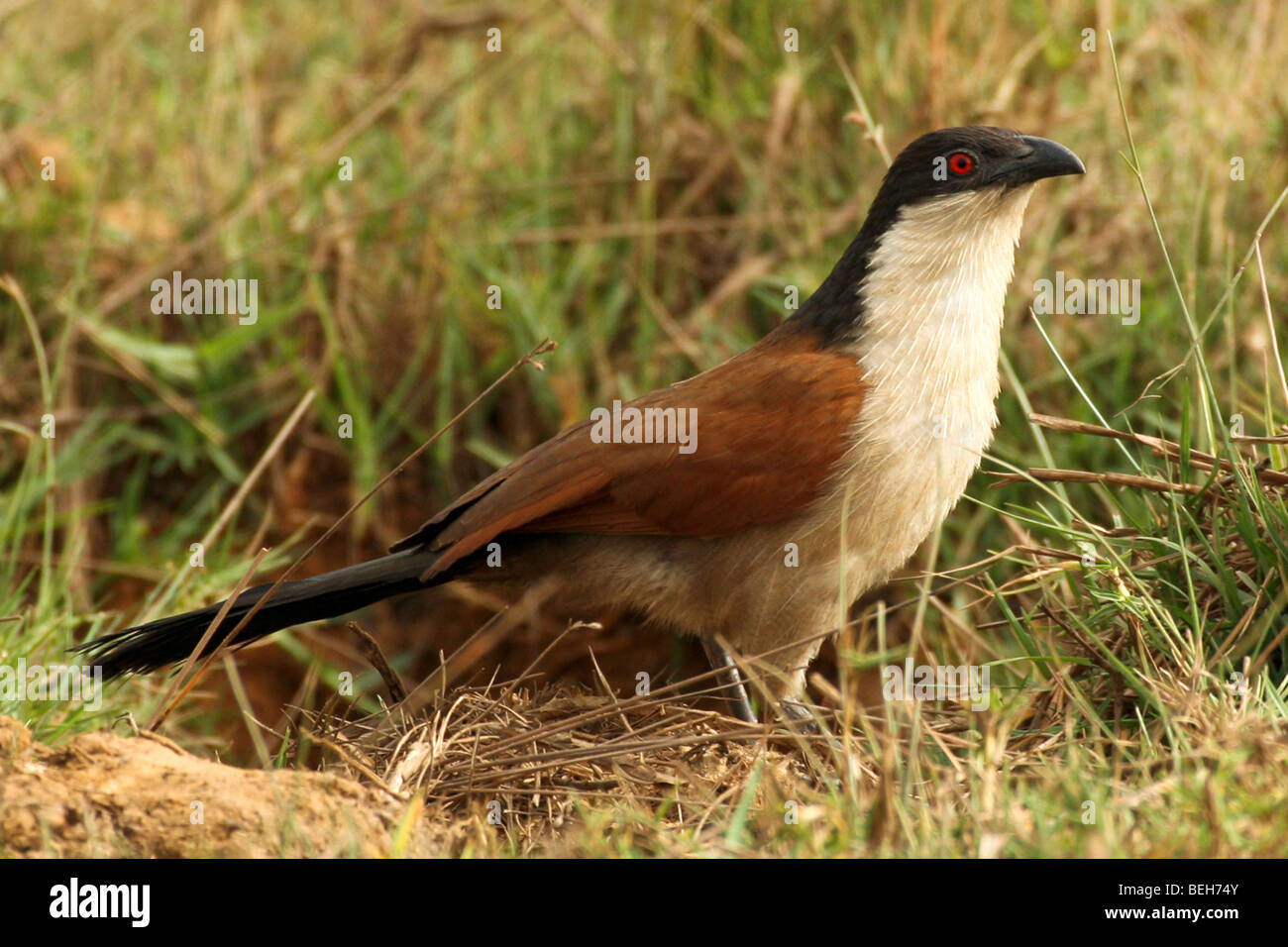 Senegal Coucal  The Gambia - Stock Image