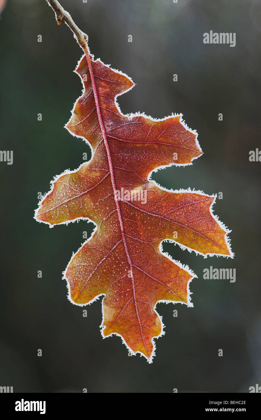 Eastern Black oak (Quercus velutina), leaf rimmed in frost, Lillington, North Carolina, USA - Stock Image