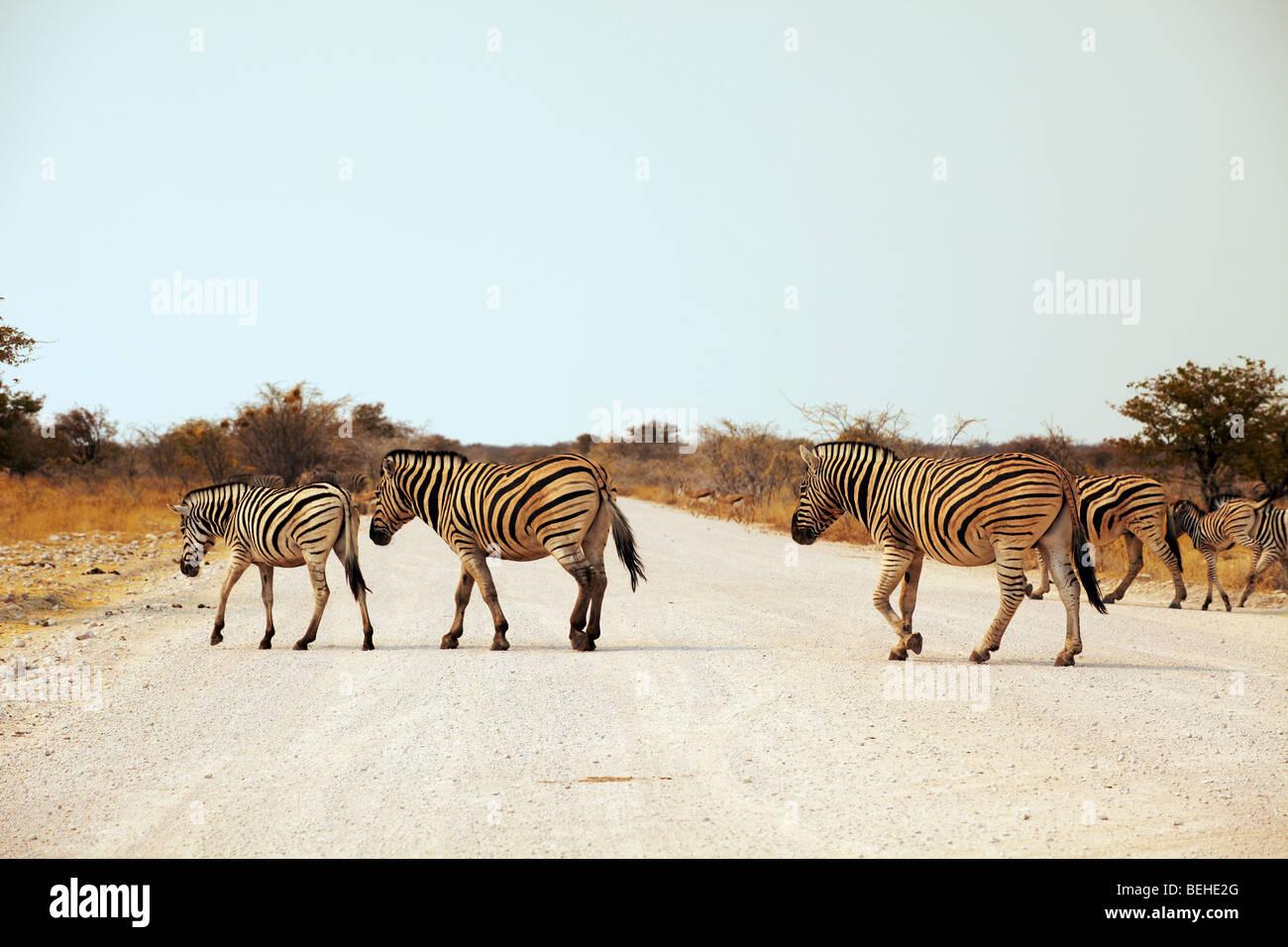 Zebras crossing road, Etosha National Park, - Stock Image