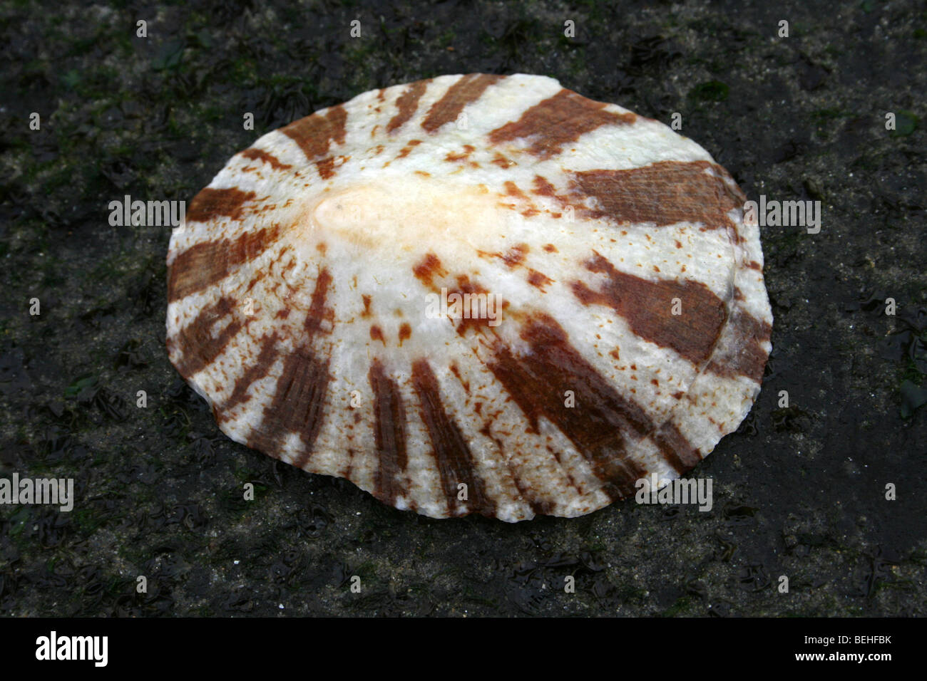 Giant Keyhole Limpet Fissurella maxima At Kei Mouth, Eastern Cape Province, South Africa Stock Photo
