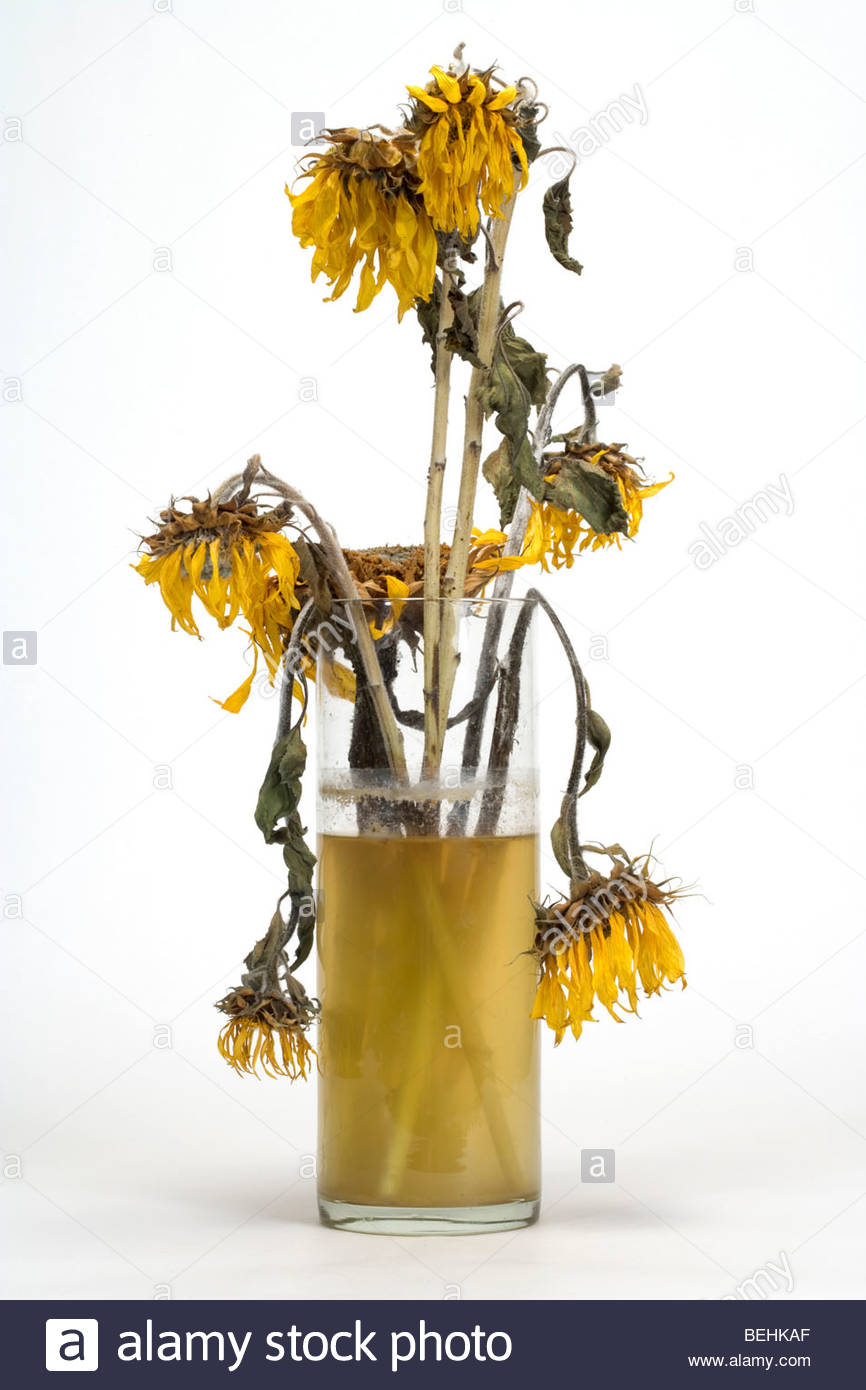 dying sunflowers in a vase with dirty water - Stock Image