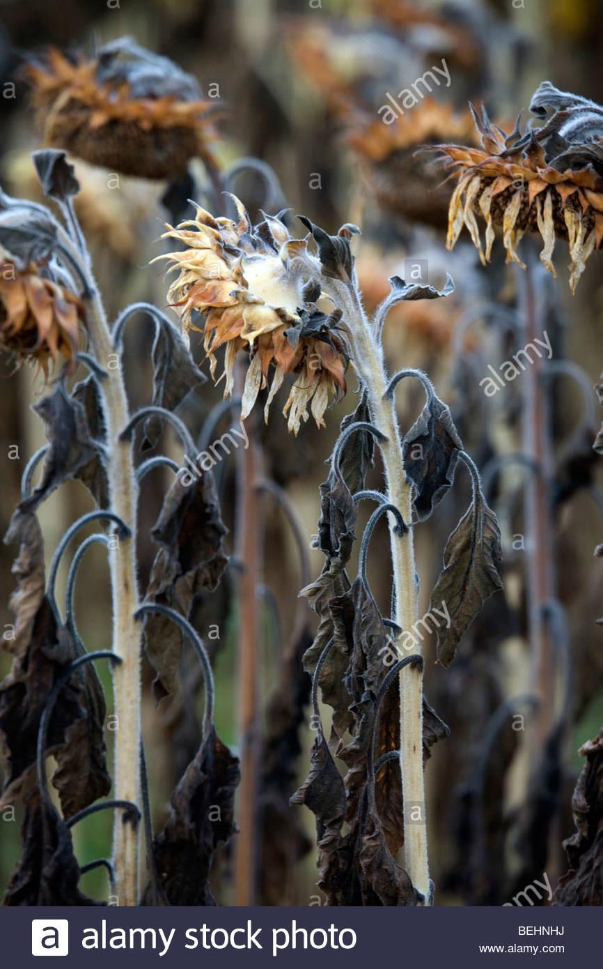 ripe sunflowers during fall season - Stock Image