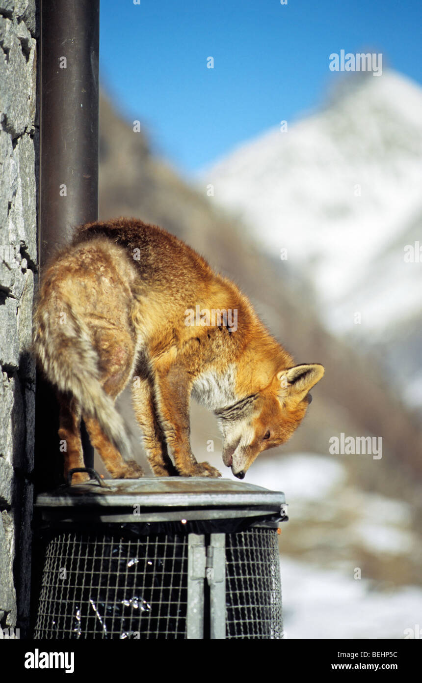 Red fox (Vulpes vulpes) infected with scab searching food by