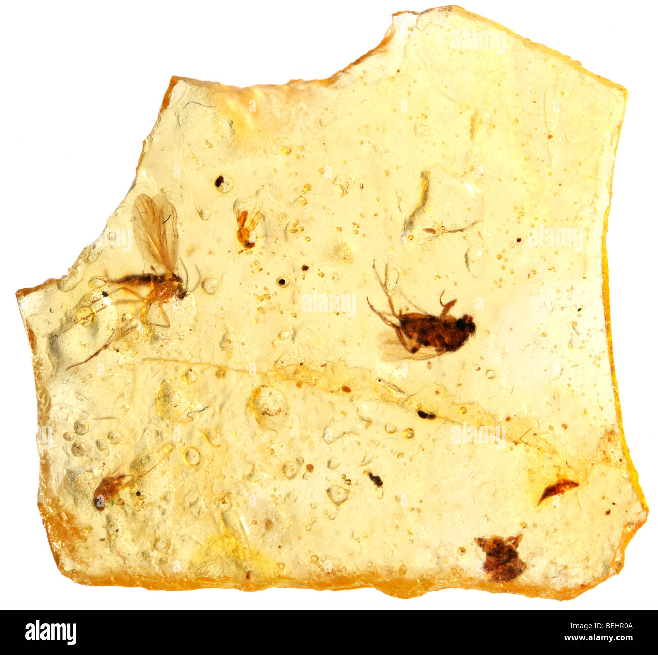 Insects preserved in Madagascan Copal - young amber - Stock Image