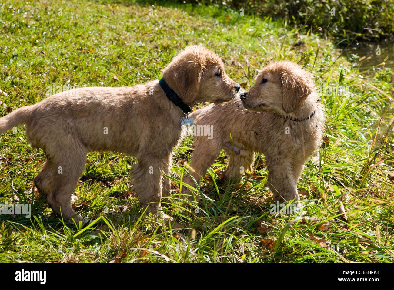 Two Wet Twelve Week Old Golden Retriever Puppies Play After A Swim