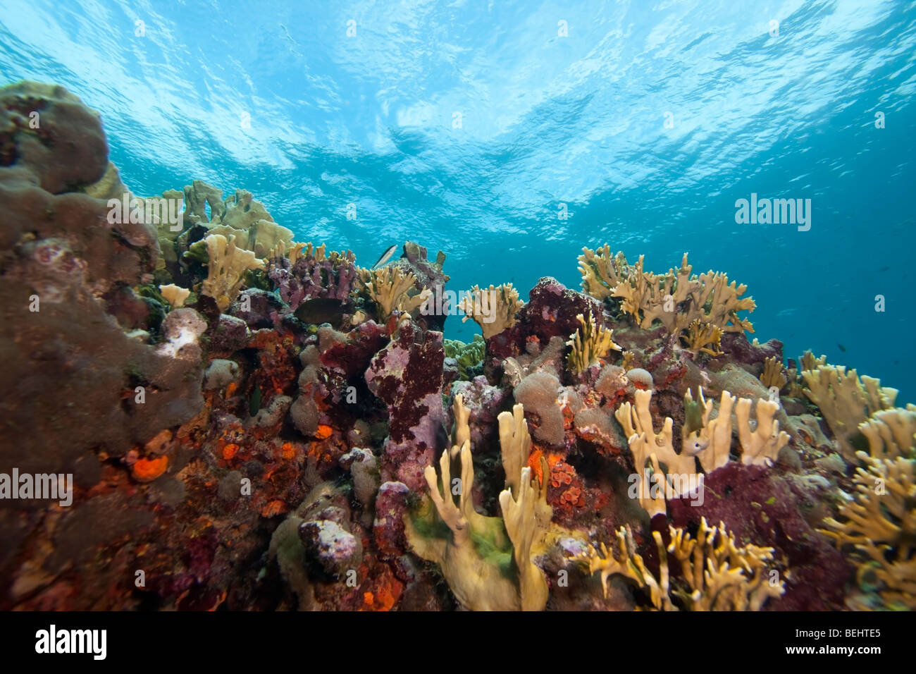 Blade Fire Coral (Millepora complanata) on a tropical reef, Bonaire, Netherlands Antilles. - Stock Image