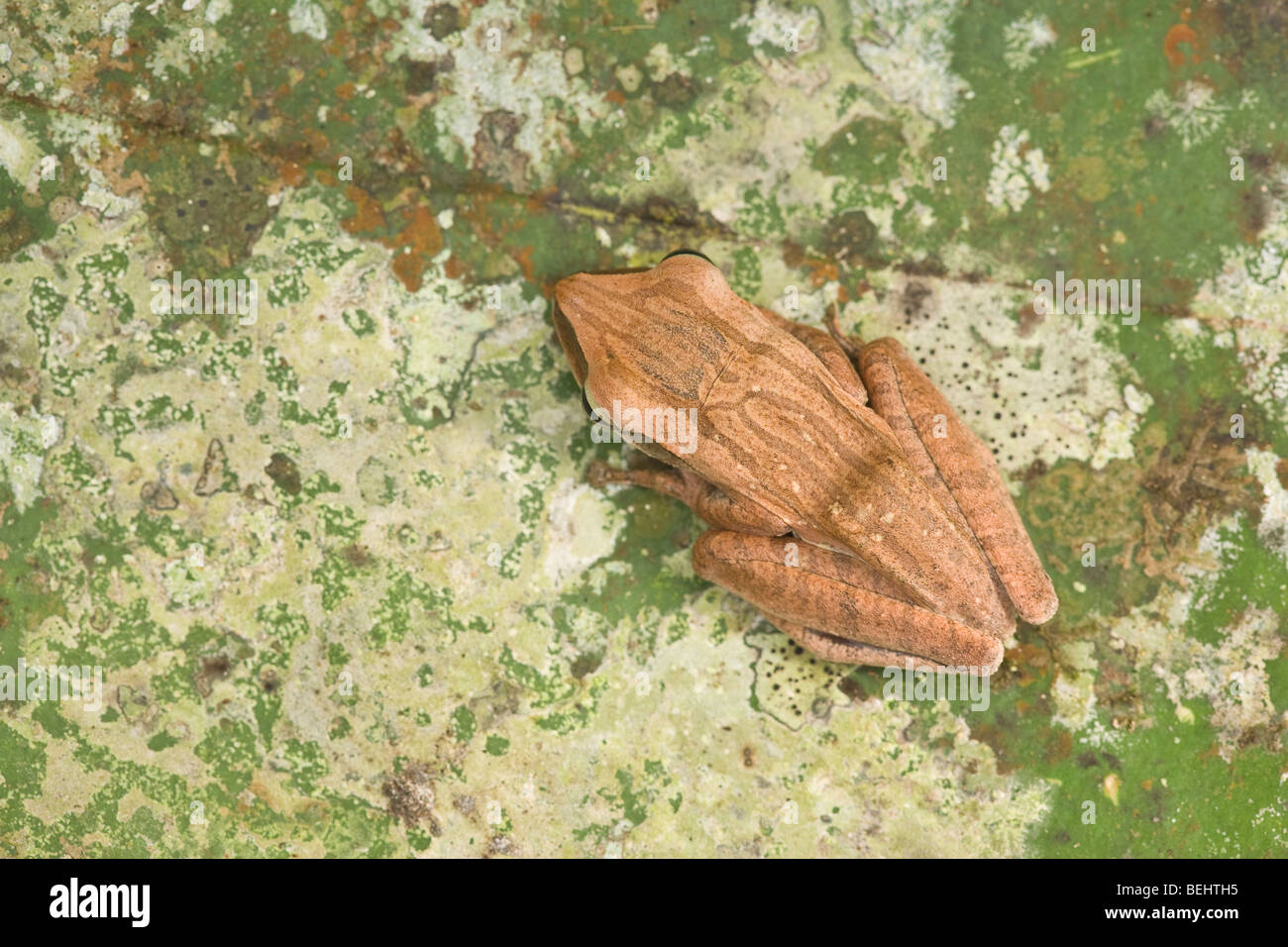 Four-lined Treefrog, Bako National Park Sarawak - Stock Image