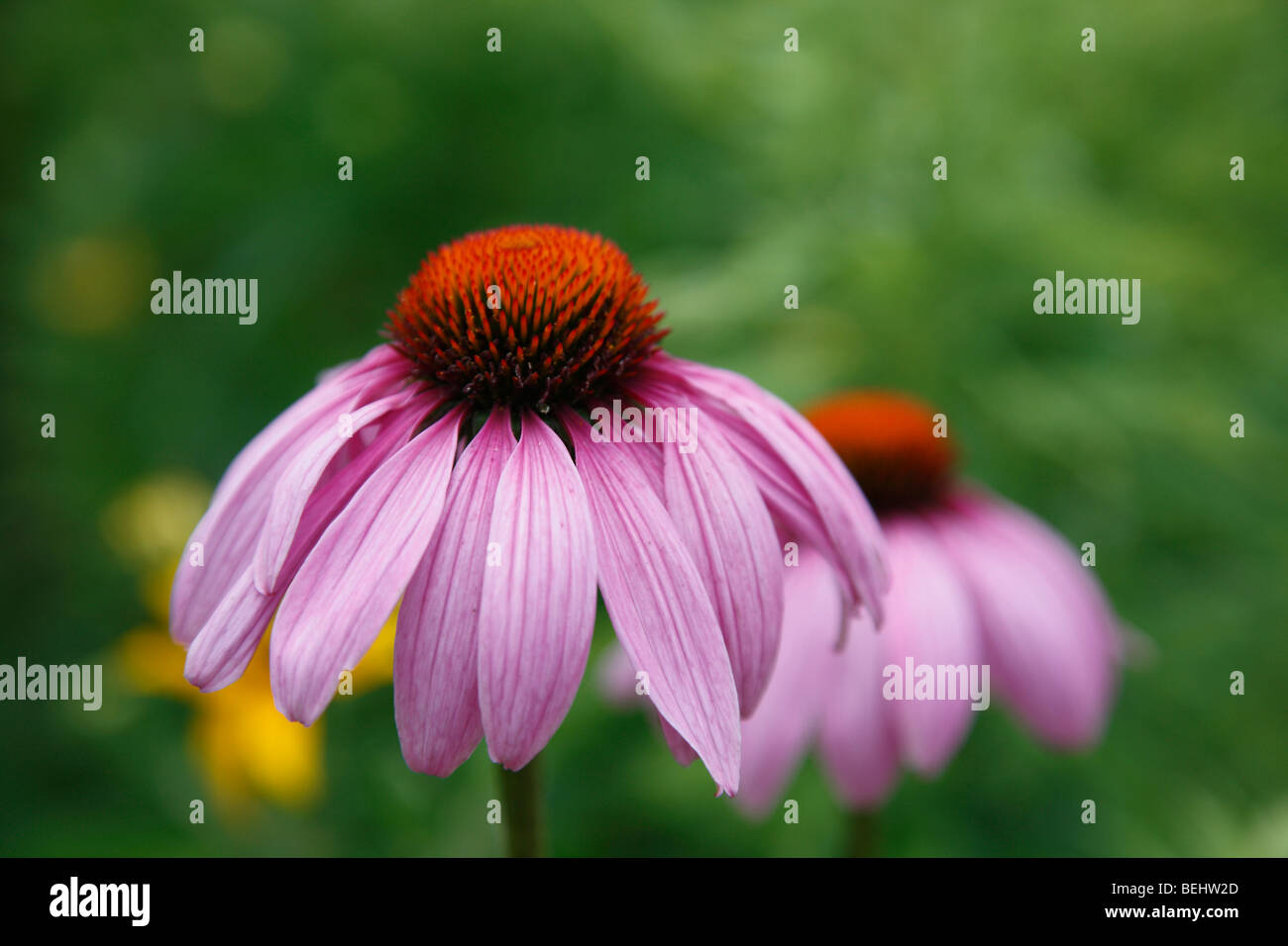 Purple Cone flower Coneflower Echinacea purpurea Ruby Giant medicinal medicine nobody no not people isolated top - Stock Image