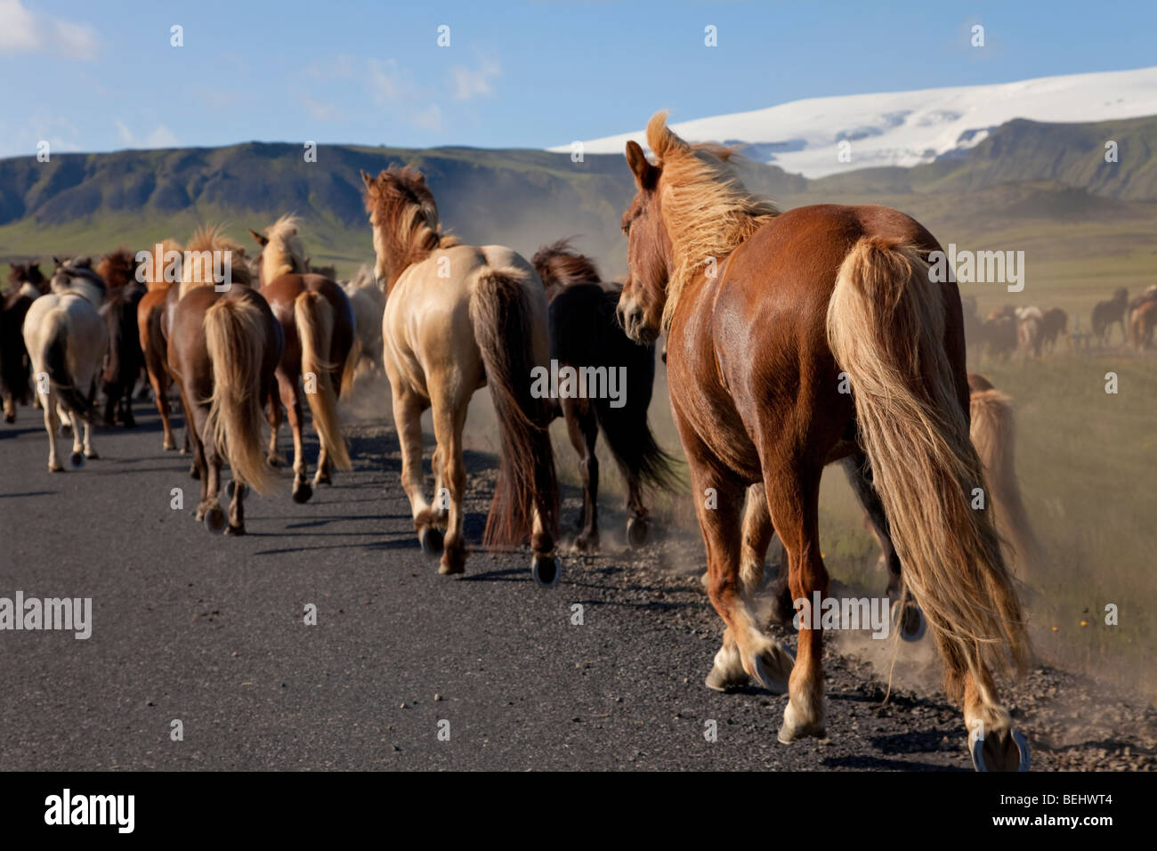 Icelandic horses galloping by the side of a road, illuminated by golden evening light. Shot on location in Iceland. - Stock Image