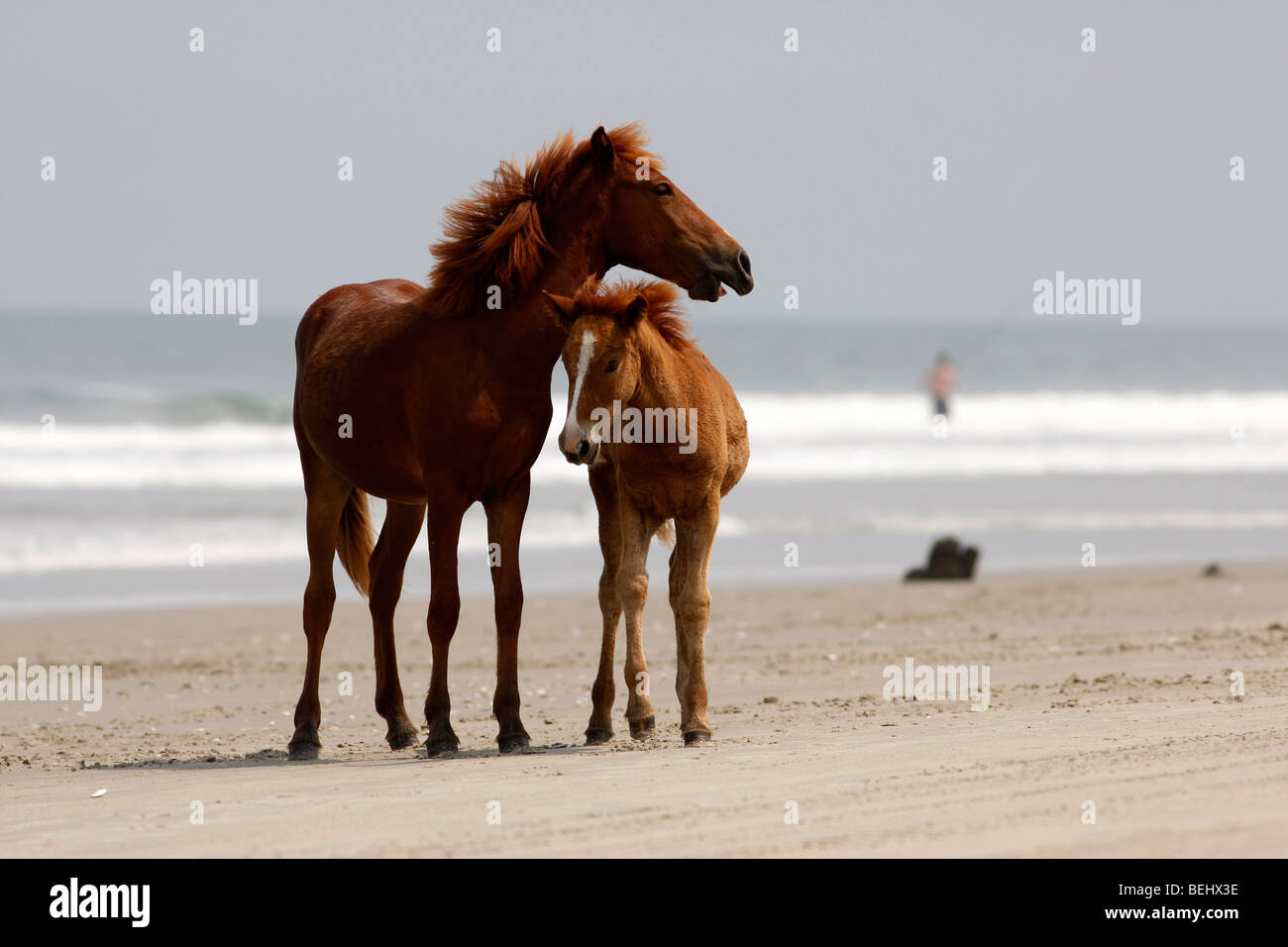 Carova Beach NC: Wild Horses play on the beach in the most northern section of the Outer Banks in North Carolina Stock Photo