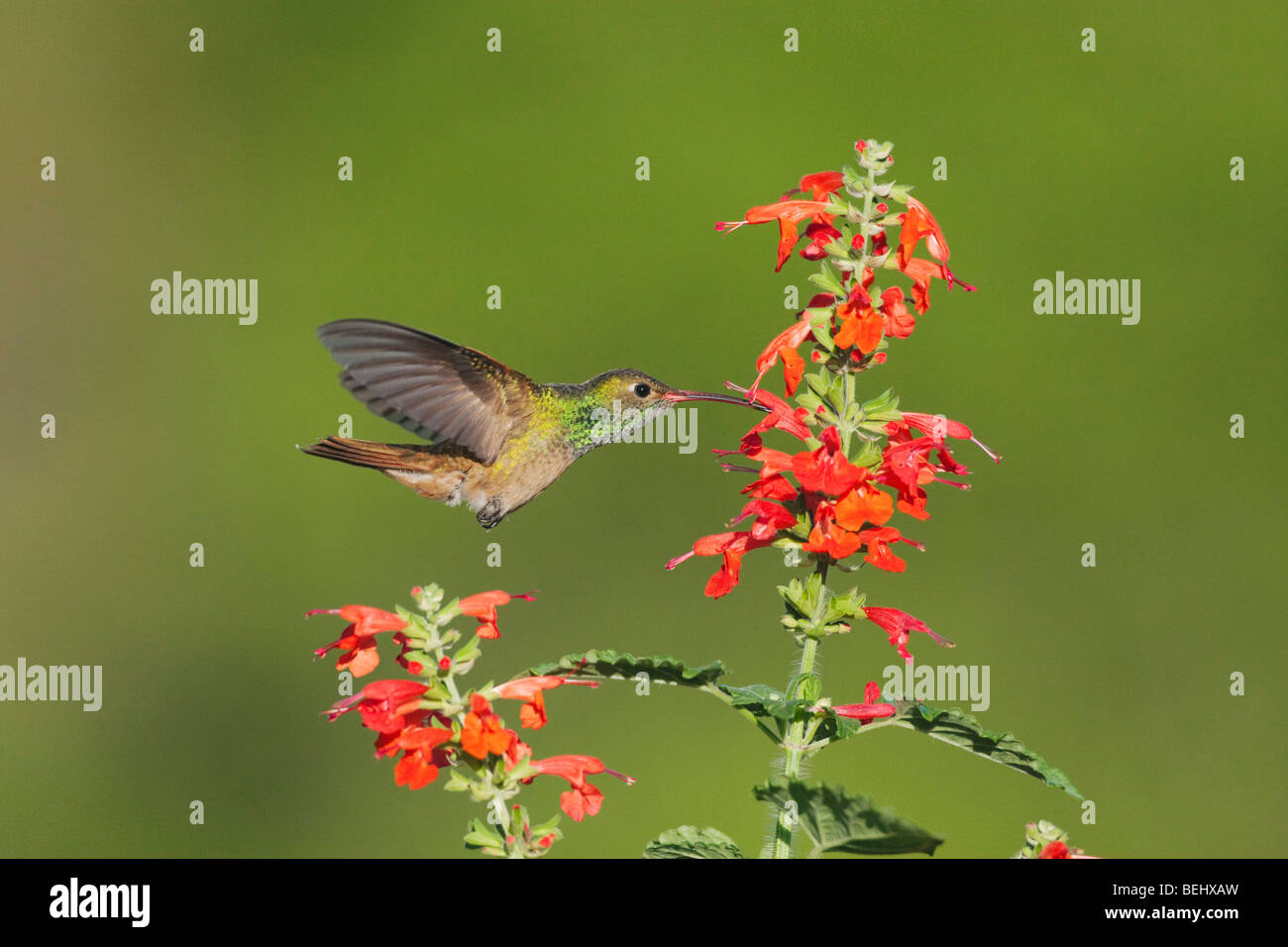 Buff-bellied Hummingbird (Amazilia yucatanenensis), male feeding on Tropical Sage (Salvia coccinea), Corpus Christi, - Stock Image