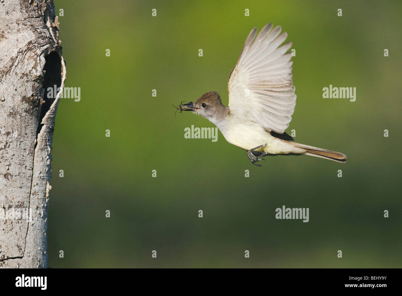 Brown-crested Flycatcher (Myiarchus tyrannulus), adult in flight with prey, Sinton, Corpus Christi, Coastal Bend, - Stock Image