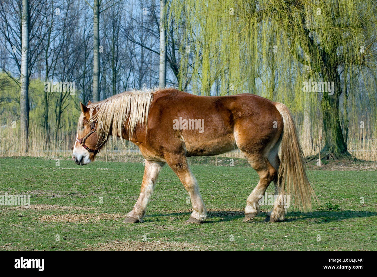 Ardennes or Ardennais draft / draught / cart horse (Equus caballus) in field, Belgium - Stock Image