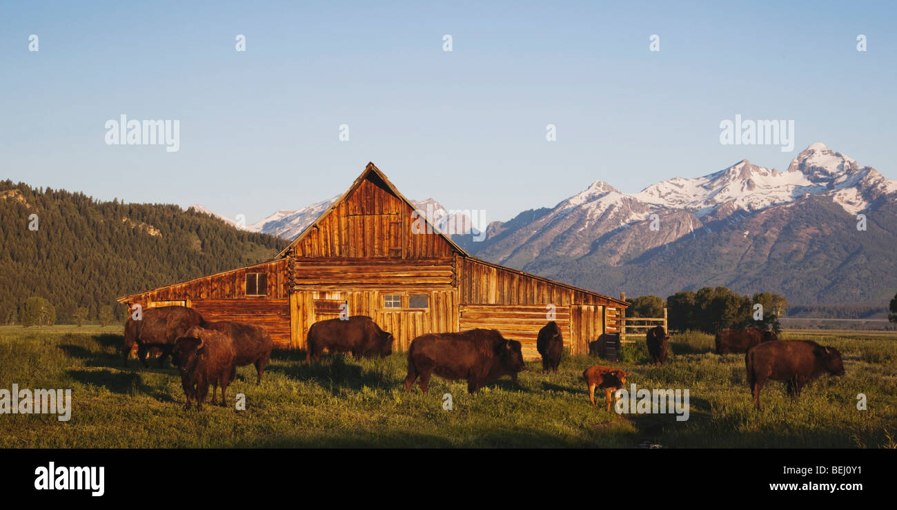 American Bison, Buffalo (Bison bison) herd in front of old wooden Barn and grand teton range, Antelope Flats, Grand - Stock Image
