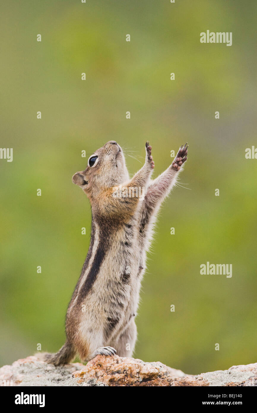 Golden-mantled Ground Squirrel (Spermophilus lateralis), female stretching, Rocky Mountain National Park, Colorado, - Stock Image