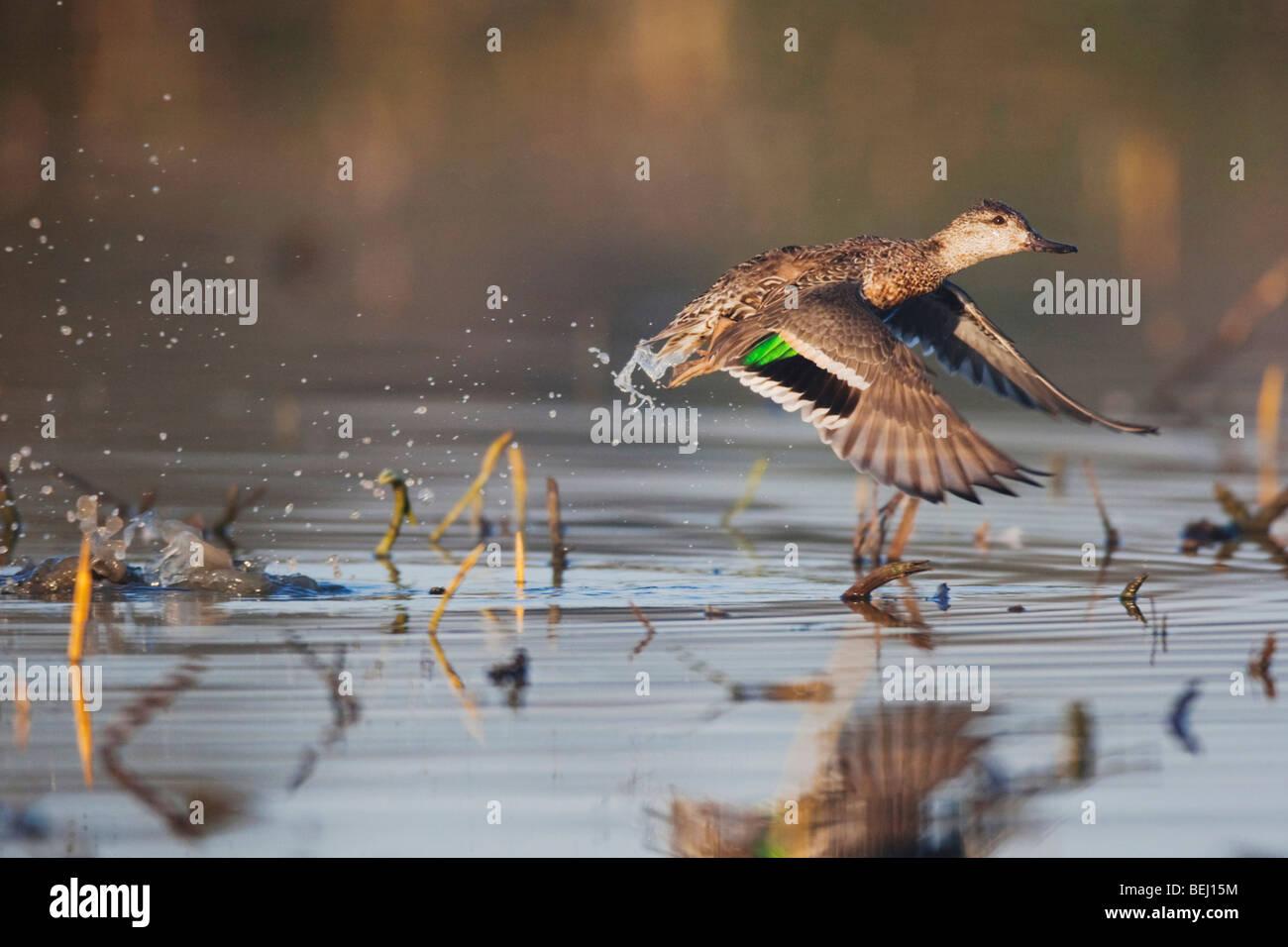 Green-winged Teal (Anas crecca), female taking off, Sinton, Corpus Christi, Coastal Bend, Texas, USA - Stock Image