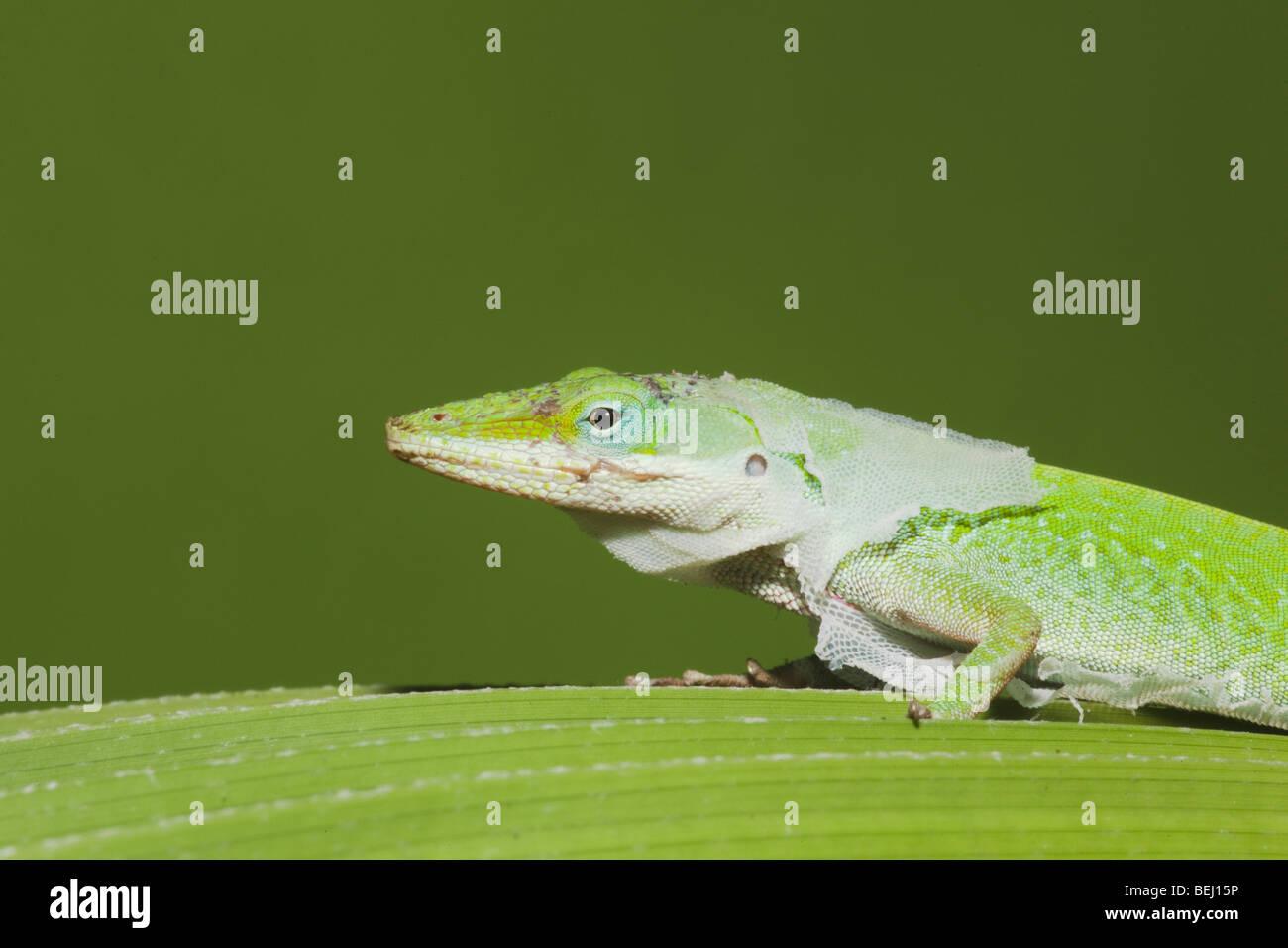 Best Pet Anole Lizards |Adult Anole Hendersons