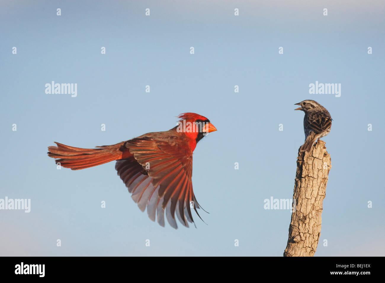 Northern Cardinal (Cardinalis cardinalis) and Savannah Sparrow male landing, Sinton, Corpus Christi, Coastal Bend, - Stock Image