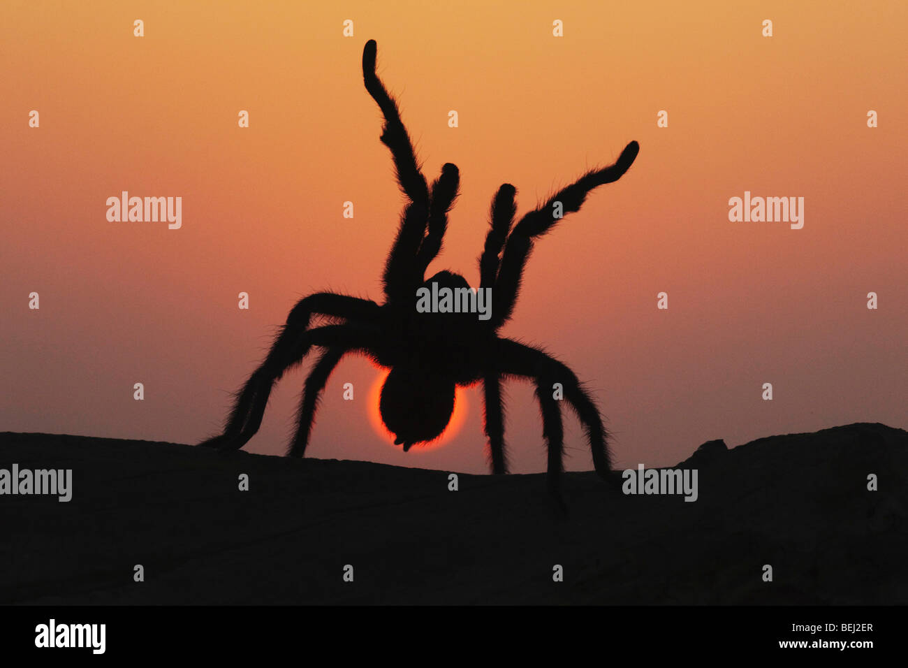 Texas Brown Tarantula (Aphonopelma hentzi), adult at sunset in defense posture, Sinton, Corpus Christi, Coastal - Stock Image