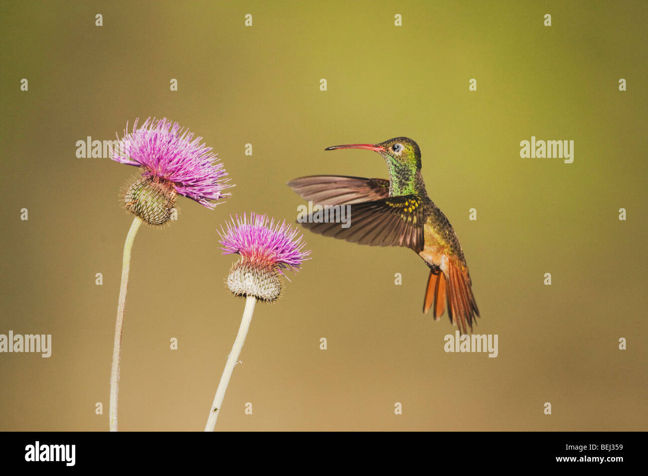 Buff-bellied Hummingbird (Amazilia yucatanenensis), male feeding on Texas thistle, Sinton, Corpus Christi, Coastal - Stock Image