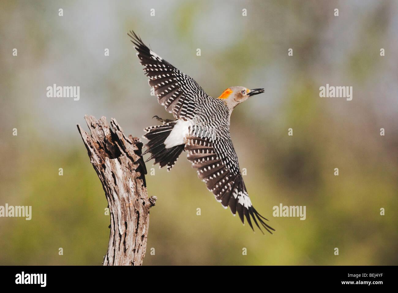 Golden-fronted Woodpecker (Melanerpes aurifrons), female taking off, Sinton, Corpus Christi, Coastal Bend, Texas, USA Stock Photo